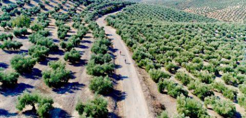 Gebied bekend van de olijfteelt